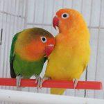¿Diferencias entre agapornis machos y hembras?