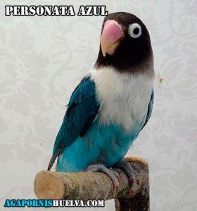 agaporni-personata-azul