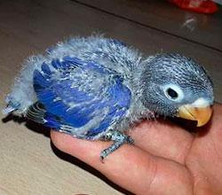 agaporni-personata-azul-cobalto-papillero
