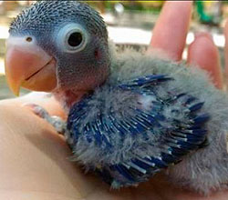 papillero-fischer-azul-agaporni