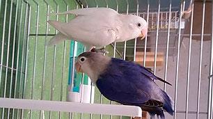 pareja-agaporni-fischer-violeta-y-decino