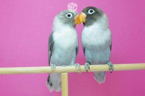pareja agaporni malva