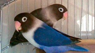 pareja-agaporni-personata-malva-y-azul-cobalto