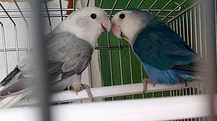 pareja-roseicollis-depurados