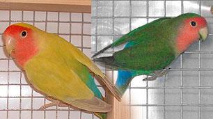 pareja-roseicollis