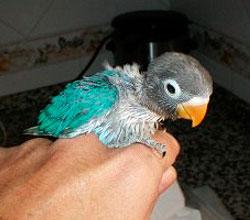 personata-papillero-azul-cielo
