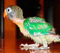 personata-papillero-verde-ancestral