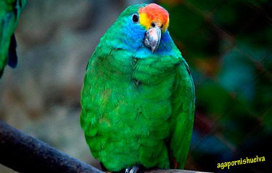 Amazonas-Rhodocorytha
