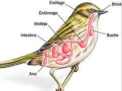 El Aparato digestivo de las aves y apareamiento de las aves, información de gran interés