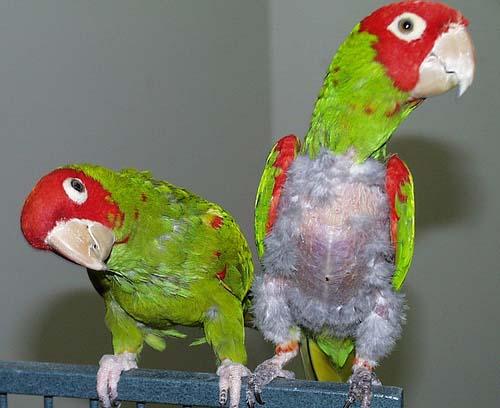 aves con picotaje