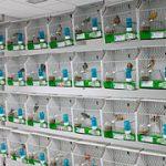 ¿En qué consiste la canaricultura?