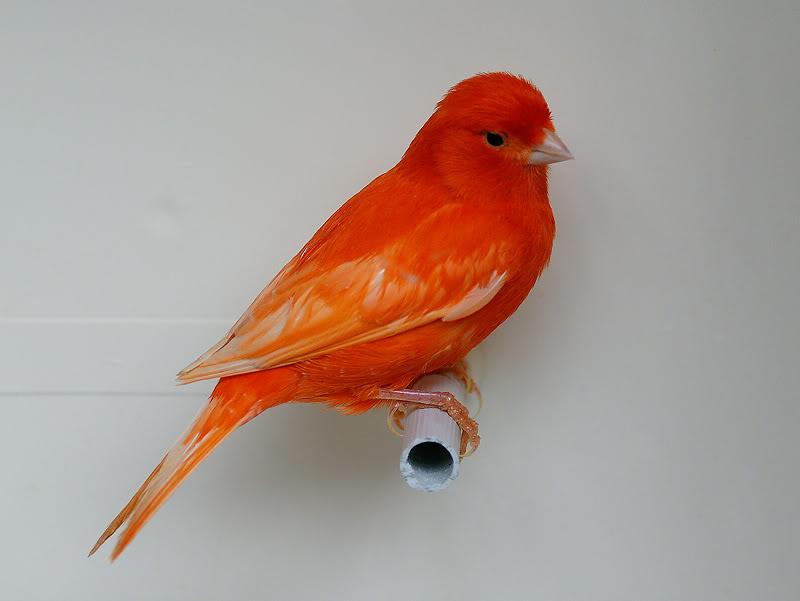canario rojo intenso