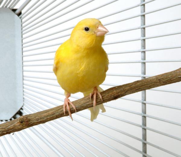 canarios amarillos