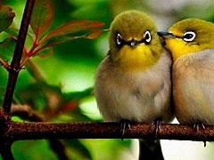 diferencia entre aves y pajaros