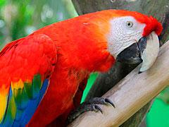 guacamaya roja peligro extincion