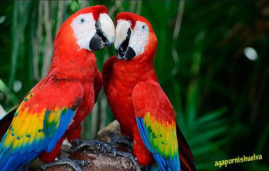 guacamaya-roja