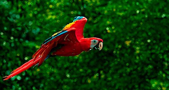 guacamayo-rojo-volando