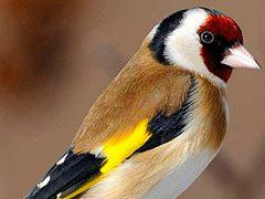 ¿Porque algunos pájaros silvestres no sobreviven a la jaula?
