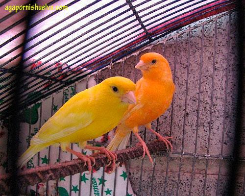 pareja-canarios