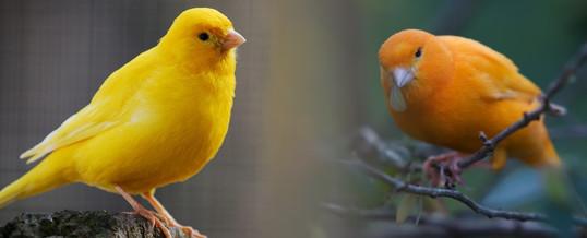 pareja de canarios