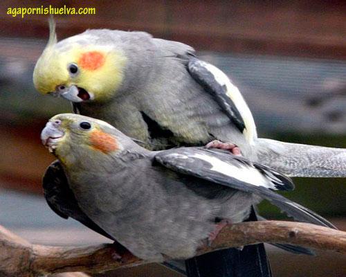 pareja-ninfas
