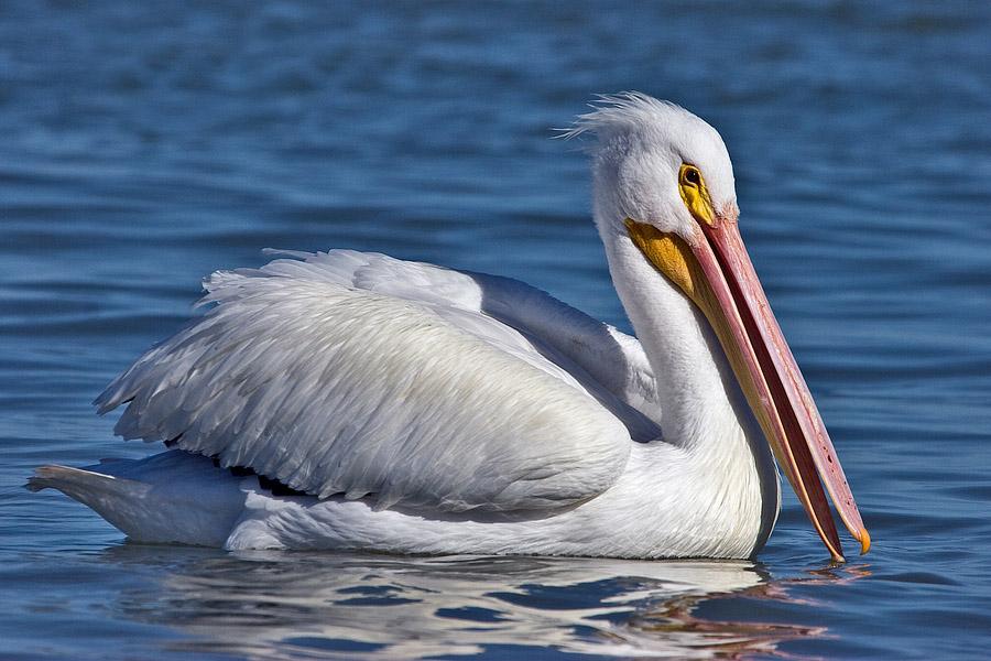 Datos interesantes para los amantes de los p jaros - Fotos de pelicanos ...