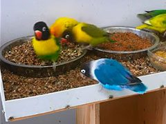 Vídeo de agapornis comiendo a la vez
