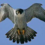 Las aves más temidas de todas…