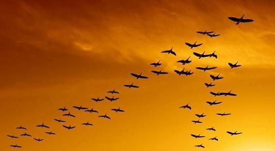 aves-migrando