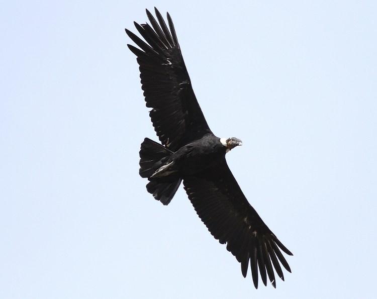condor-andino-volando
