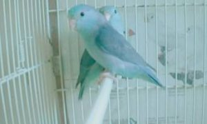 Conociendo al Forpus Coelestis Azul