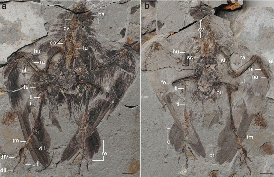 Fosil Archaeornithura meemannae