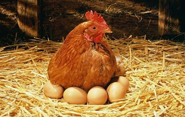 gallina-incubando-huevos
