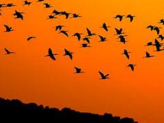 migracion aves porque