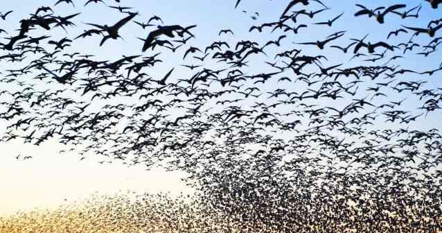 migracion-de-las-aves