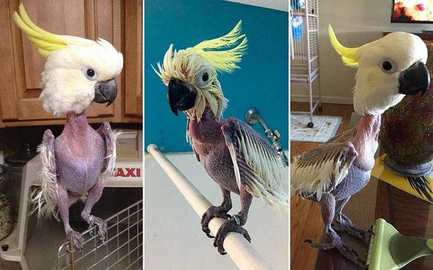 pajaro quitadas plumas