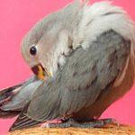 Limpieza o acicalado de las aves