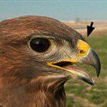 El pico de las aves…