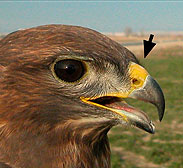 pico-de-las-aves