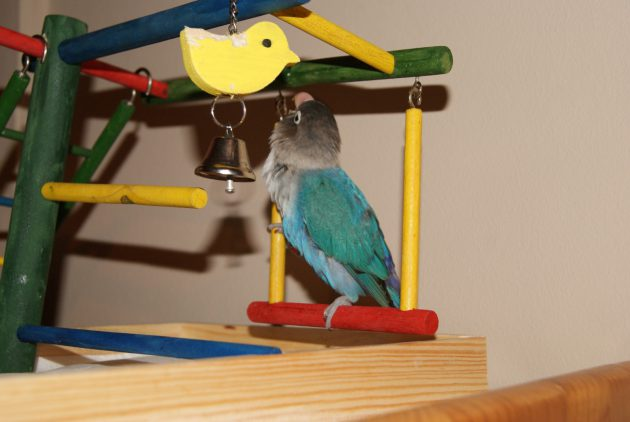 agaporni-jugando-con-juguete-para-aves