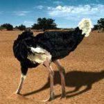 ¿Porque los avestruces esconden la cabeza?