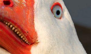 Las aves y los dientes…