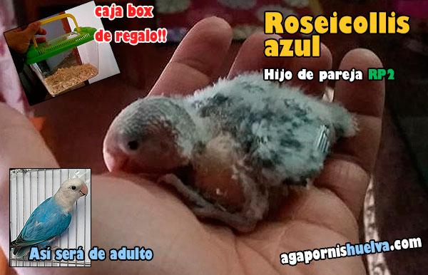 Nuevos Diciembre Pollos De Roseicollis1 2016 Agapornis IeEDY2WH9