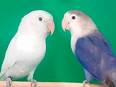 pareja agapornis fischer