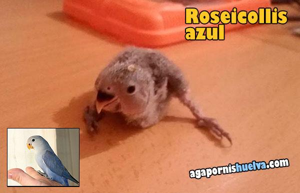 roseicollis-azul-papillero