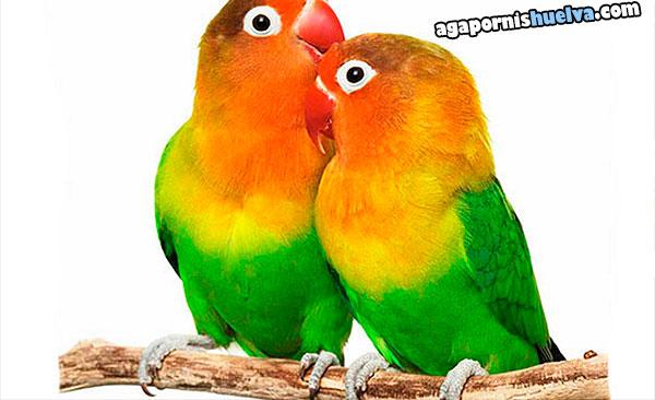 1agapornis fischer verde pareja