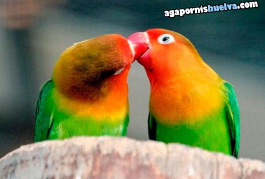 3agapornis fischer verde besandose