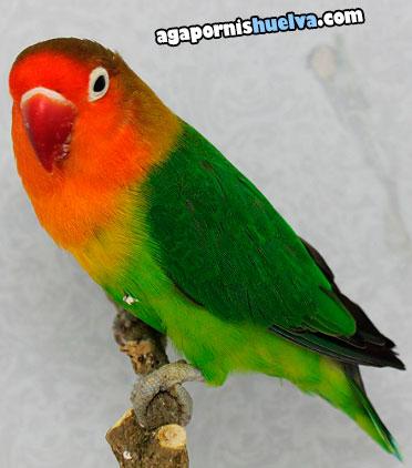 4agapornis fischer macho verde