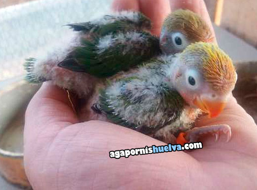 9agapornis fischer verde papilleros hermanos