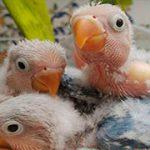 Fotos de agapornis inseparables papilleros